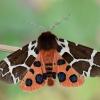 Keršoji meškutė - Arctia caja | Fotografijos autorius : Arūnas Eismantas | © Macrogamta.lt | Šis tinklapis priklauso bendruomenei kuri domisi makro fotografija ir fotografuoja gyvąjį makro pasaulį.