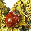 Keturtaškė boružė - Harmonia quadripunctata | Fotografijos autorius : Vaida Paznekaitė | © Macrogamta.lt | Šis tinklapis priklauso bendruomenei kuri domisi makro fotografija ir fotografuoja gyvąjį makro pasaulį.