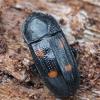 Keturdėmis žvilgvabalis - Ipidia binotata | Fotografijos autorius : Gintautas Steiblys | © Macrogamta.lt | Šis tinklapis priklauso bendruomenei kuri domisi makro fotografija ir fotografuoja gyvąjį makro pasaulį.