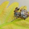 Pleištadėmis žnypliavoris - Larinioides patagiatus  | Fotografijos autorius : Gintautas Steiblys | © Macrogamta.lt | Šis tinklapis priklauso bendruomenei kuri domisi makro fotografija ir fotografuoja gyvąjį makro pasaulį.