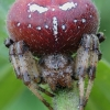 Keturdėmis kryžiuotis - Araneus quadratus | Fotografijos autorius : Gintautas Steiblys | © Macrogamta.lt | Šis tinklapis priklauso bendruomenei kuri domisi makro fotografija ir fotografuoja gyvąjį makro pasaulį.