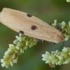 Keturtaškė kerpytė - Lithosia quadra ♀ | Fotografijos autorius : Žilvinas Pūtys | © Macrogamta.lt | Šis tinklapis priklauso bendruomenei kuri domisi makro fotografija ir fotografuoja gyvąjį makro pasaulį.