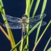 Keturtaškė skėtė - Libellula quadrimaculata | Fotografijos autorius : Kazimieras Martinaitis | © Macrogamta.lt | Šis tinklapis priklauso bendruomenei kuri domisi makro fotografija ir fotografuoja gyvąjį makro pasaulį.