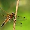 Keturtaškė skėtė - Libellula quadrimaculata | Fotografijos autorius : Ramunė Vakarė | © Macrogamta.lt | Šis tinklapis priklauso bendruomenei kuri domisi makro fotografija ir fotografuoja gyvąjį makro pasaulį.