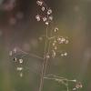 Kiškio ašarėlės – Briza media | Fotografijos autorius : Agnė Našlėnienė | © Macrogamta.lt | Šis tinklapis priklauso bendruomenei kuri domisi makro fotografija ir fotografuoja gyvąjį makro pasaulį.