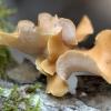 Kislioji skylėtbudė - Cerioporus varius | Fotografijos autorius : Ramunė Vakarė | © Macrogamta.lt | Šis tinklapis priklauso bendruomenei kuri domisi makro fotografija ir fotografuoja gyvąjį makro pasaulį.