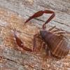 Knyginis pseudoskorpionas - Chelifer cancroides | Fotografijos autorius : Gintautas Steiblys | © Macrogamta.lt | Šis tinklapis priklauso bendruomenei kuri domisi makro fotografija ir fotografuoja gyvąjį makro pasaulį.