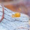 Kolembola -  Dicyrtomina flavosignata | Fotografijos autorius : Žilvinas Pūtys | © Macrogamta.lt | Šis tinklapis priklauso bendruomenei kuri domisi makro fotografija ir fotografuoja gyvąjį makro pasaulį.