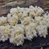 Korališkasis trapiadyglis - Hericium coralloides | Fotografijos autorius : Vytautas Gluoksnis | © Macrogamta.lt | Šis tinklapis priklauso bendruomenei kuri domisi makro fotografija ir fotografuoja gyvąjį makro pasaulį.