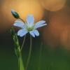 Krūmokšninė žliūgė - Rabelera holostea | Fotografijos autorius : Agnė Našlėnienė | © Macrogamta.lt | Šis tinklapis priklauso bendruomenei kuri domisi makro fotografija ir fotografuoja gyvąjį makro pasaulį.