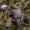 Krabas - Metopograpsus frontalis | Fotografijos autorius : Žilvinas Pūtys | © Macrogamta.lt | Šis tinklapis priklauso bendruomenei kuri domisi makro fotografija ir fotografuoja gyvąjį makro pasaulį.