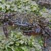 Marmurinis krabas - Pachygrapsus marmoratus | Fotografijos autorius : Gintautas Steiblys | © Macrogamta.lt | Šis tinklapis priklauso bendruomenei kuri domisi makro fotografija ir fotografuoja gyvąjį makro pasaulį.