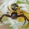 Krabvoris - Synema globosum ♀ | Fotografijos autorius : Žilvinas Pūtys | © Macrogamta.lt | Šis tinklapis priklauso bendruomenei kuri domisi makro fotografija ir fotografuoja gyvąjį makro pasaulį.