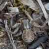 Kocho krabvoris - Xysticus kochi ♀ | Fotografijos autorius : Žilvinas Pūtys | © Macrogamta.lt | Šis tinklapis priklauso bendruomenei kuri domisi makro fotografija ir fotografuoja gyvąjį makro pasaulį.