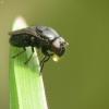 Krantinukė - Discomyza incurva   Fotografijos autorius : Vidas Brazauskas   © Macrogamta.lt   Šis tinklapis priklauso bendruomenei kuri domisi makro fotografija ir fotografuoja gyvąjį makro pasaulį.