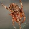 Pleištadėmis žnypliavoris - Larinioides patagiatus  juv. | Fotografijos autorius : Gintautas Steiblys | © Macrogamta.lt | Šis tinklapis priklauso bendruomenei kuri domisi makro fotografija ir fotografuoja gyvąjį makro pasaulį.