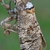 Kvapusis/Gluosninis medgręžis - Cossus cossus | Fotografijos autorius : Gintautas Steiblys | © Macrogamta.lt | Šis tinklapis priklauso bendruomenei kuri domisi makro fotografija ir fotografuoja gyvąjį makro pasaulį.