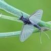 Lašalas - Caenis macrura | Fotografijos autorius : Gintautas Steiblys | © Macrogamta.lt | Šis tinklapis priklauso bendruomenei kuri domisi makro fotografija ir fotografuoja gyvąjį makro pasaulį.