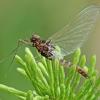 Skeltažiaunis lašalas - Leptophlebiidae | Fotografijos autorius : Gintautas Steiblys | © Macrogamta.lt | Šis tinklapis priklauso bendruomenei kuri domisi makro fotografija ir fotografuoja gyvąjį makro pasaulį.