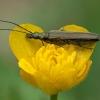 Laibavabalis - Oedemera virescens ♀   Fotografijos autorius : Žilvinas Pūtys   © Macrogamta.lt   Šis tinklapis priklauso bendruomenei kuri domisi makro fotografija ir fotografuoja gyvąjį makro pasaulį.