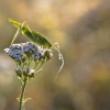 Lakštasparnis pjūklius - Phaneroptera falcata | Fotografijos autorius : Marius Čepulis | © Macrogamta.lt | Šis tinklapis priklauso bendruomenei kuri domisi makro fotografija ir fotografuoja gyvąjį makro pasaulį.