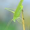 Lakštasparnis pjūklius | Phaneroptera falcata | Fotografijos autorius : Darius Baužys | © Macrogamta.lt | Šis tinklapis priklauso bendruomenei kuri domisi makro fotografija ir fotografuoja gyvąjį makro pasaulį.