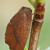 Lapasparnis - Drepanepteryx phalaenoides   Fotografijos autorius : Gintautas Steiblys   © Macrogamta.lt   Šis tinklapis priklauso bendruomenei kuri domisi makro fotografija ir fotografuoja gyvąjį makro pasaulį.