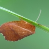 Lapasparnis - Drepanepteryx phalaenoides | Fotografijos autorius : Vidas Brazauskas | © Macrogamta.lt | Šis tinklapis priklauso bendruomenei kuri domisi makro fotografija ir fotografuoja gyvąjį makro pasaulį.