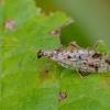 Lapasparnis - Micromus variegatus   Fotografijos autorius : Romas Ferenca   © Macrogamta.lt   Šis tinklapis priklauso bendruomenei kuri domisi makro fotografija ir fotografuoja gyvąjį makro pasaulį.