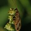 Lapasparnis - Micromus variegatus   Fotografijos autorius : Gintautas Steiblys   © Macrogamta.lt   Šis tinklapis priklauso bendruomenei kuri domisi makro fotografija ir fotografuoja gyvąjį makro pasaulį.