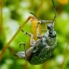 Lapinukas - Phyllobius glaucus   Fotografijos autorius : Romas Ferenca   © Macrogamta.lt   Šis tinklapis priklauso bendruomenei kuri domisi makro fotografija ir fotografuoja gyvąjį makro pasaulį.