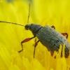 Lapinukas - Phyllobius glaucus | Fotografijos autorius : Vidas Brazauskas | © Macrogamta.lt | Šis tinklapis priklauso bendruomenei kuri domisi makro fotografija ir fotografuoja gyvąjį makro pasaulį.