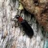 Lapuotinis keršvabalis - Tillus elongatus (patelė) | Fotografijos autorius : Vitalii Alekseev | © Macrogamta.lt | Šis tinklapis priklauso bendruomenei kuri domisi makro fotografija ir fotografuoja gyvąjį makro pasaulį.