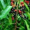 Vėlyvoji ieva - Prunus serotina | Fotografijos autorius : Aleksandras Stabrauskas | © Macrogamta.lt | Šis tinklapis priklauso bendruomenei kuri domisi makro fotografija ir fotografuoja gyvąjį makro pasaulį.