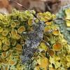 Mažasis pušiagraužis - Acanthocinus griseus | Fotografijos autorius : Gintautas Steiblys | © Macrogamta.lt | Šis tinklapis priklauso bendruomenei kuri domisi makro fotografija ir fotografuoja gyvąjį makro pasaulį.