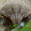 Lenktagalvė vėžliablakė – Eurygaster testudinaria | Fotografijos autorius : Žilvinas Pūtys | © Macrogamta.lt | Šis tinklapis priklauso bendruomenei kuri domisi makro fotografija ir fotografuoja gyvąjį makro pasaulį.