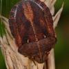 Lenktagalvė vėžliablakė - Eurygaster testudinaria   Fotografijos autorius : Gintautas Steiblys   © Macrogamta.lt   Šis tinklapis priklauso bendruomenei kuri domisi makro fotografija ir fotografuoja gyvąjį makro pasaulį.