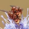 Lenktapilvė musė - Sicus ferrugineus | Fotografijos autorius : Žilvinas Pūtys | © Macrogamta.lt | Šis tinklapis priklauso bendruomenei kuri domisi makro fotografija ir fotografuoja gyvąjį makro pasaulį.