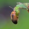 Liūnvabalis - Microcara testacea   Fotografijos autorius : Romas Ferenca   © Macrogamta.lt   Šis tinklapis priklauso bendruomenei kuri domisi makro fotografija ir fotografuoja gyvąjį makro pasaulį.