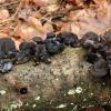 Liaukingasis drebutis - Exidia glandulosa | Fotografijos autorius : Ramunė Vakarė | © Macrogamta.lt | Šis tinklapis priklauso bendruomenei kuri domisi makro fotografija ir fotografuoja gyvąjį makro pasaulį.