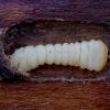 Liepinis pilkšys - Oplosia cinerea, lerva | Fotografijos autorius : Romas Ferenca | © Macrogamta.lt | Šis tinklapis priklauso bendruomenei kuri domisi makro fotografija ir fotografuoja gyvąjį makro pasaulį.