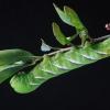 Ligustrinis sfinksas - Sphinx ligustri, vikšras | Fotografijos autorius : Gintautas Steiblys | © Macrogamta.lt | Šis tinklapis priklauso bendruomenei kuri domisi makro fotografija ir fotografuoja gyvąjį makro pasaulį.