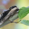 Ligustrinis sfinksas - Sphinx ligustri   Fotografijos autorius : Arūnas Eismantas   © Macrogamta.lt   Šis tinklapis priklauso bendruomenei kuri domisi makro fotografija ir fotografuoja gyvąjį makro pasaulį.