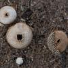 Pumpotaukšlis - Lycoperdon marginatum   Fotografijos autorius : Zita Gasiūnaitė   © Macrogamta.lt   Šis tinklapis priklauso bendruomenei kuri domisi makro fotografija ir fotografuoja gyvąjį makro pasaulį.