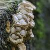 Lygusis tigliagrybis | Crucibulum laeve | Fotografijos autorius : Darius Baužys | © Macrogamta.lt | Šis tinklapis priklauso bendruomenei kuri domisi makro fotografija ir fotografuoja gyvąjį makro pasaulį.