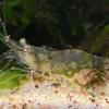 Dailioji žolinė krevetė - Palaemon elegans | Fotografijos autorius : Gintautas Steiblys | © Macrogamta.lt | Šis tinklapis priklauso bendruomenei kuri domisi makro fotografija ir fotografuoja gyvąjį makro pasaulį.