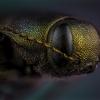 Mėlynasis blizgiavabalis - Phaenops cyanea | Fotografijos autorius : Eugenijus Kavaliauskas | © Macrogamta.lt | Šis tinklapis priklauso bendruomenei kuri domisi makro fotografija ir fotografuoja gyvąjį makro pasaulį.