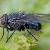 Mėlynoji lavonmusė - Calliphora vicina ♂ | Fotografijos autorius : Žilvinas Pūtys | © Macrogamta.lt | Šis tinklapis priklauso bendruomenei kuri domisi makro fotografija ir fotografuoja gyvąjį makro pasaulį.