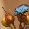 Mėlynoji skydblakė - Zicrona caerulea | Fotografijos autorius : Žilvinas Pūtys | © Macrogamta.lt | Šis tinklapis priklauso bendruomenei kuri domisi makro fotografija ir fotografuoja gyvąjį makro pasaulį.