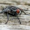 Mėsmusė | Flesh fly | Sarcophaga sp. | Fotografijos autorius : Darius Baužys | © Macrogamta.lt | Šis tinklapis priklauso bendruomenei kuri domisi makro fotografija ir fotografuoja gyvąjį makro pasaulį.